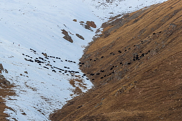Domestic yaks headed back to camp at the end of a day grazing in the mountains. Serxu County, Garze Prefecture, Sichuan Province, China.