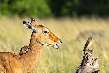 Impala (Aepyceros melampus), and Yellow-billed oxpeckers (Buphagus africanus) Masai-Mara game Reserve, Kenya.
