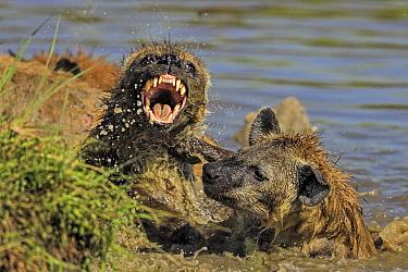Spotted Hyena (Crocuta crocuta) fighting over hippo carcass in water , Masai Mara, Kenya