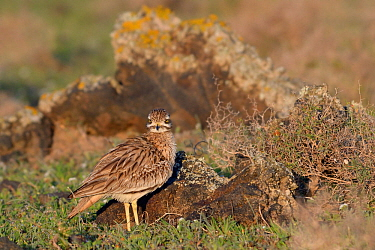 Stone curlew (Burhinus oedicnemus) standing among volcanic rocks in steppe scrubland at dawn, Teguise Plain, Lanzarote, Canary Islands, February.