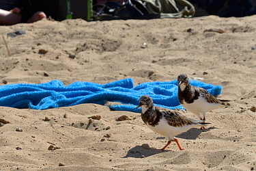 Two Ruddy turnstones (Arenaria interpres) foraging on a sandy beach close to beach toweels and tourists, Costa de Papagayo, Lanzarote, Canary Islands, February.