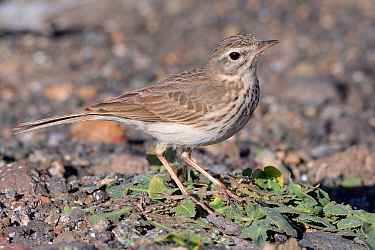 Berthelot's pipit (Anthus berthelotii berthelotii), endemic to Atlantic islands, foraging on a volcanic beach, Lanzarote, Canary Islands, February.