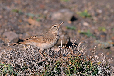 Berthelot's pipit (Anthus berthelotii berthelotii), endemic to Atlantic islands, perched in a spiny bush, Lanzarote, Canary Islands, February.