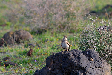 Lesser short-toed lark (Calandrella rufescens) perched on a rock in steppe grassland, Teguise Plain, Lanzarote Canary Islands, February.
