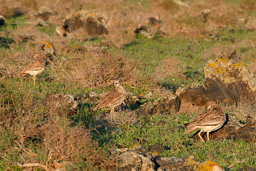 Stone curlews (Burhinus oedicnemus) group of four standing among volcanic rocks in steppe scrubland at dawn, Teguise Plain, Lanzarote, Canary Islands, February.