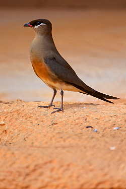 Madagascan Pratincole (Glareola ocularis), on ground, Tsingy de Bemaraha National Park, Madagascar, Vulnerable, endemic.
