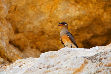 Madagascan Pratincole (Glareola ocularis) on rock, Tsingy de Bemaraha National Park, Madagascar, Vulnerable, endemic.