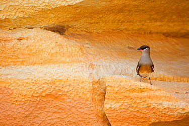 Madagascan Pratincole (Glareola ocularis), perched on rock , Tsingy de Bemaraha National Park, Madagascar, Vulnerable, endemic.