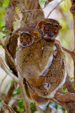 Eastern woolly lemur (Avahi laniger) female and infant huddled in a tree. Anjozorobe Special Reserve, Madagascar, Vulnerable, endemic.