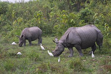 Indian rhinoceros (Rhinoceros unicornis) mother and calf with Cattle egrets (Bubulcus ibis) Kaziranga National Park, Assam, India.