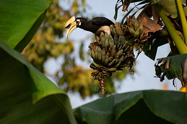Oriental pied hornbill (Anthracoceros albirostris) in a banana tree, Kaziranga National Park, Assam, India.