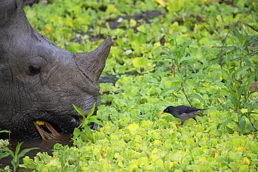 Indian rhinoceros (Rhinoceros unicornis) with Jungle myna (Acridotheres fusses) Kaziranga National Park, Assam, India.