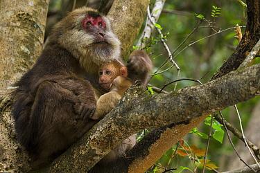Tibetan macaque (Macaca thibetana) female with infant, Tangjiahe Nature Reserve, Sichuan Province, China, April.