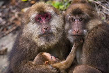Tibetan macaques (Macaca thibetana) with baby, Tangjiahe Nature Reserve, Sichuan Province, China,