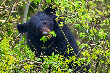 Asian black bear (Ursus thibetanus) feeding on leaves, Tangjiahe Nature Reserve, Sichuan Province, China, April.