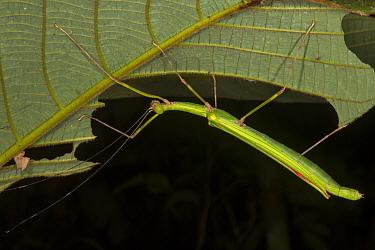 Stick Insect (Calvisia punctulata), female, in Gunung Mulu National Park, Sarawak, Malaysian Borneo.