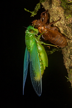 Jade green cicada (Dundubia vaginata) after ecdysis with exuvium, Gunung Mulu National Park, UNESCO World Heritage Site, Sarawak, Borneo.