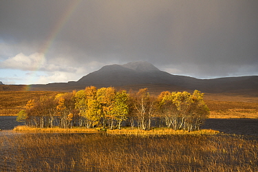 Rainbow over forested island in front of Canisp, Loch Awe, Assynt, Scotland, UK, November 2016.