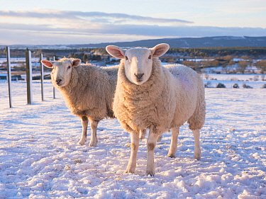 North Country Cheviot sheep on a croft in winter, Sutherland, Scotland