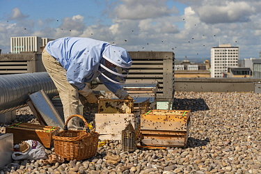 Urban beekeeper Ed O'Brien inspecting hive on top of Blythswood Square Hotel in the city centre, Glasgow, Scotland, UK, August 2018.