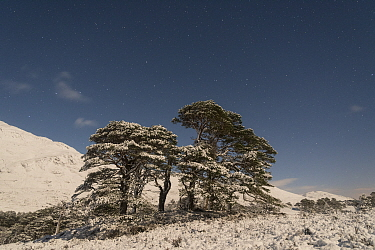 Stand of ancient Scot's pine (Pinus sylvestris) trees lit by the moon, at night in winter, Glen Affric, Scotland, UK, December.