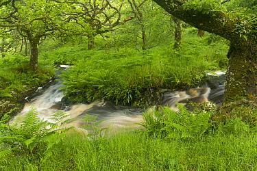 Stream in spate in native oak woodland in summer, Clonaig, Kintyre, Argyll, Scotland, UK, July 2015.