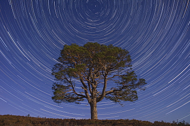Lone Scot's pine tree (Pinus sylvestris) and star trails with the north star, Abernethy forest, Cairngorms National Park, Scotland, UK.