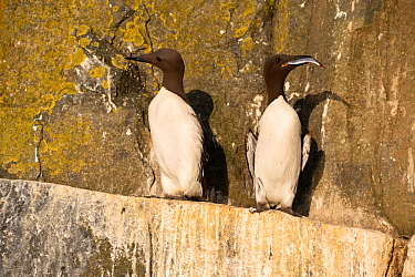 Guillemots (Uria aalge) one with herring, Shiant Isles, Outer Hebrides, Scotland, UK. July 2018.
