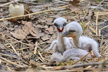 Recently hatched White stork (Ciconia ciconia) chicks begging for food in their nest. In captive breeding colony raising young birds for UK White Stork reintroduction project at the Knepp Estate. Cots...