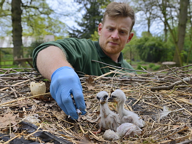Richard Wardle feeding fish to recently hatched White stork (Ciconia ciconia) chicks in nest. In captive breeding colony raising young birds for UK White Stork reintroduction project at the Knepp Esta...