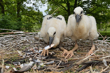 Two large White stork (Ciconia ciconia) chicks feeding on fish given to them by a keeper in their nest. In captive breeding colony raising young birds for UK White Stork reintroduction project at the...