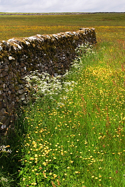 Dry stone walls in a field of Cow parsley (Anthriscus sylvestris) and Buttercups (Ranunculus acris), New House National Nature Reserve and North Pennine Dales Meadows Special Area of Conservation, Yor...