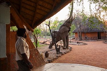 African elephant (Loxodonta africana) walking through Kafunta Lodge main area to feed on wild mango fruit, South Luangwa National Park, Zambia