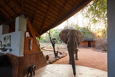 African elephant (Loxodonta africana) walking through Kafunta Lodge main area to pick up fallen wild mangos, South Luangwa National Park, Zambia
