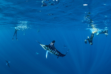 Striped marlin (Kajikia audax) hunting Sardine (Sardinops sagax), divers taking photographs in background. Magdalena Bay, Baja California Sur, Mexico. November 2018.