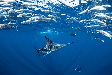 Striped marlin (Kajikia audax) feeding on Sardine (Sardinops sagax). Magdalena Bay, Baja California Sur, Mexico.