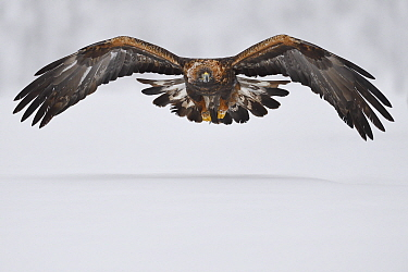 Golden eagle (Aquila chrysaetos) in flight over snow. Kalvtrask, Vasterbotten, Lapland, Sweden. January.