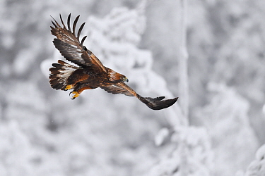 Golden eagle (Aquila chrysaetos) in flight, snow covered forest in background. Kalvtrask, Vasterbotten, Lapland, Sweden. January.
