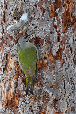 Grey-headed woodpecker (Picus canus) on tree trunk. Kalvtrask, Vasterbotten, Lapland, Sweden. January.
