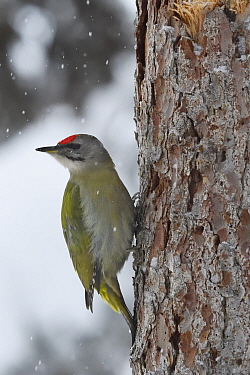Grey-headed woodpecker (Picus canus) on tree trunk in falling snow. Kalvtrask, Vasterbotten, Lapland, Sweden. January.