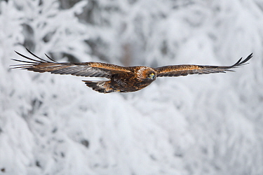Golden eagle (Aquila chrysaetos) in flight. Kalvtrask, Vasterbotten, Lapland, Sweden. January.