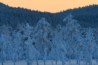 Snow covered Scots pine (Pinus sylvestris) trees in boreal forest. Kalvtrask, Vasterbotten, Lapland, Sweden. January.