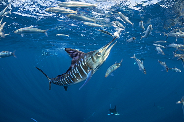 Striped marlin (Tetrapturus audax) feeding on Sardine (Sardinops sagax). Magdalena Bay, Baja California Sur, Pacific Ocean, Mexico.
