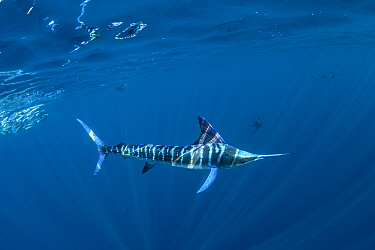 Striped marlin (Tetrapturus audax) hunting. Magdalena Bay, Baja California Sur, Pacific Ocean, Mexico..