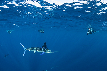 Striped marlin (Tetrapturus audax) hunting, free divers taking photographs in background. Magdalena Bay, Baja California Sur, Pacific Ocean, Mexico.