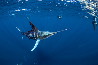 Striped marlin (Tetrapturus audax) hunting Sardine (Sardinops sagax), free divers taking photographs in background. Magdalena Bay, Baja California Sur, Pacific Ocean, Mexico.