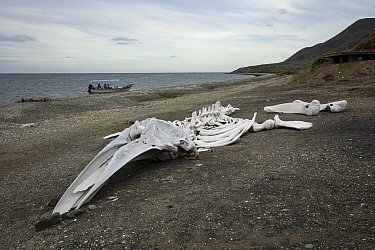 Grey whale (Eschrichtius robustus) skeleton on beach. Magdalena Island, Magdalena Bay, Baja California Sur, Mexico.