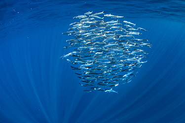 Sardine (Sardinops sagax) bait ball. Magdalena Bay, Baja California Sur, Mexico.