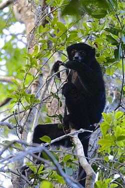 Perrier's sifaka (Propithecus perrieri) sitting in tree. Analamera National Park, Madagascar.