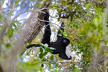 Perrier's sifaka (Propithecus perrieri) swinging from branch in forest. Analamera National Park, Madagascar.